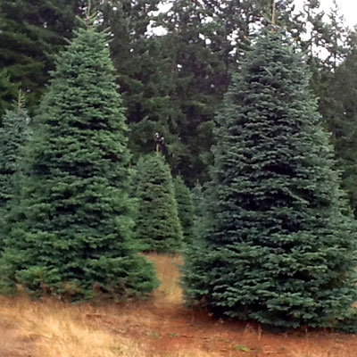 For more than 30 years, your best source for beautiful holiday trees and  breathtaking seasonal decoration services, and for a great cause, ... - Delancey Street Trees